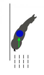 Задние и передние ноги идут на расстоянии друг от друга. Внутренний зад подводится под центр тяжести и несет вес.