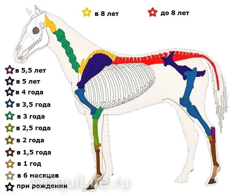 Возраст, в котором происходит полное окостенение скелета по отделам (рисунок с www.equilife.ru)