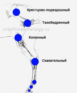 Суставы верхней части задней ноги лошади