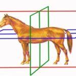 естественная асимметрия лошади