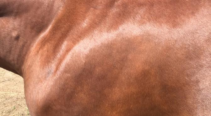 Миф: лошадь с блестящей шерстью– здоровая лошадь