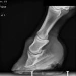 laminitic_x-ray